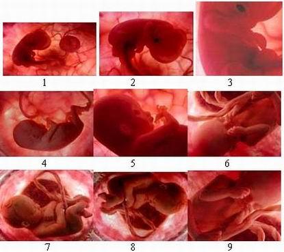perkembangan embryo