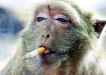 monyet-merokok